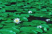 Awesome White Water Lily Blooms In A Pond. White Lotus Which Has Yellow Pollen In Winter. Flower Of  poster