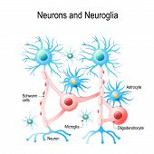 Neurons And Neuroglial Cells. Glial Cells Are Non-neuronal Cells In Brain. There Are Different Types poster