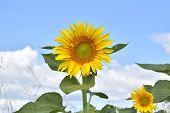 Sun Flower Against A Blue Sky. Sunflower Field Landscape. Field Of Blooming Sunflowers On A Backgrou poster
