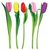 Постер, плакат: 5 тюльпаны цвета на белом фоне