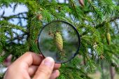 Studying Of The Pine Cone Through Magnifying Glass In A Male Hand, Ecology, Botany poster