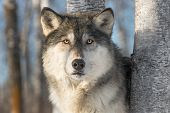 Grey Wolf (canis Lupus) Stares Out - Captive Animal poster