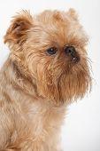 Portrait Dog Of The Griffon Bruxellois poster