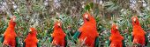 picture of king parrot  - Red headed Australian male king parrot panoramic background