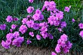 foto of carnations  - Turkish carnation in a rural garden in spring - JPG