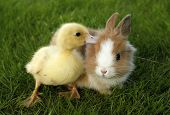 stock photo of baby easter  - Rabbit bunny and duckling are friends - JPG