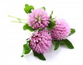 stock photo of red clover  - Red clover on a white background - JPG