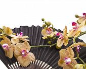 Fresh Blossom Orchids in Age Black Decorative Japanese  Paper Fan Isolated on white background