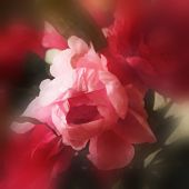 art floral watercolor background with red and pink peonies in blur