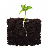 picture of survival  - Small apple tree in ground with root - JPG