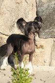 Nice Chinese Crested Dog In Front Of Stone Wall