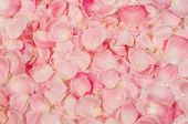 picture of rose close up  - textured background of pink rose petals close - JPG