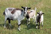 stock photo of husbandry  - Goat and kid on the green pasture - JPG