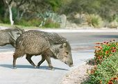 pic of wild hog  - Javelinas are members of the peccary family - JPG