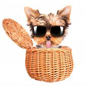happy yorkie toy with sun glasses in a basket