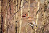 Waxwing In The Bush