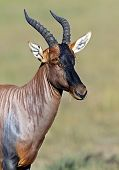 picture of antelope  - Topi antelope in Masai Mara National Park - JPG