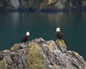 foto of bald head  - Two mature bald eagles resting on a large rock with heads turned in opposite directions