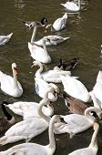 picture of avon  - White swans the River Avon Stratford - JPG