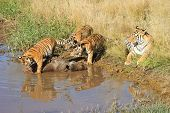 stock photo of tiger cub  - A mother tiger watches by as its cubs tackles a prey - JPG