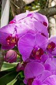 image of monocots  - Spike of beautiful exotic purple Phalaenopsis orchids growing outdoors in a garden in Bali