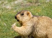picture of marmot  - Funny marmot with bisquit on the meadow  - JPG