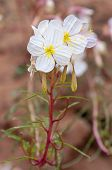 pic of primrose  - Oenothera pallida pale evening - JPG