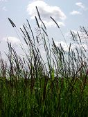 picture of tall grass  - a field of tall grass - JPG