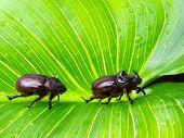 stock photo of oryctes  - Couple of Rhino or Scarab beetles on a big green leaf - JPG