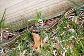 foto of harmless snakes  - A black and yellow North American Garter snake slithering through the green grass - JPG