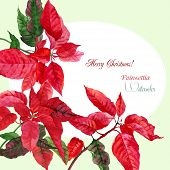 stock photo of poinsettia  - Background  with red poinsettia - JPG
