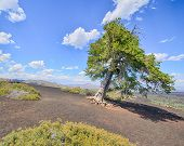 image of infernos  - Sentinel Tree - JPG