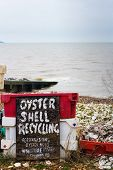 pic of oyster shell  - oyster shell recycling in whitstable kent uk - JPG