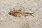 stock photo of petrified  - prehistoric fossil fish enclosed in stone rock - JPG