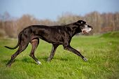 pic of great dane  - black great dane breed dog running outdoors  - JPG