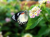 picture of lantana  - a black white butterfly on lantana camara flowers - JPG