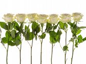 stock photo of single white rose  - seven beautiful white delicate fragrant roses with green leaves on a white background horizontal - JPG