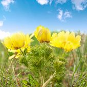 stock photo of adonis  - Yellow flowers  - JPG