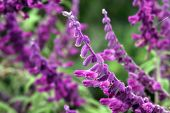 foto of salvia  - Beautiful purple flowers of salvia on green background - JPG