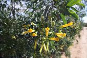picture of tobacco leaf  - Yellow flowers tree tobacco on the background of green leaves - JPG