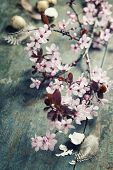 image of quail egg  - Easter composition with quail eggs and Cherry Blossom branches - JPG