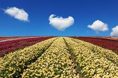 foto of buttercup  - Beautiful spring day on a farm on cultivation of buttercups garden - JPG