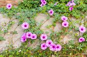 image of ipomoea  - purple Ipomoea pes - JPG