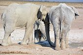 stock photo of mud  - View of elephants covered in white mud (Etosha National Park). The