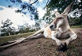 foto of kangaroo  - Closeup of an australian eastern grey kangaroo - JPG