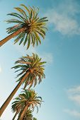 image of sm  - Beautiful Date Palms line the sky in Santa Monica - JPG