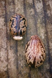 picture of laxatives  - Two castor beans lying on wooden floor  - JPG