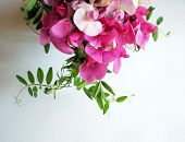 foto of sweet pea  - Pink sweet pea with copy space for background image  - JPG