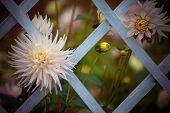 picture of chrysanthemum  - beautiful pink chrysanthemum in the garden - JPG