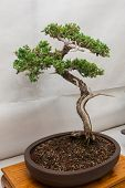 foto of bonsai  - Bonsai tree perfectly presented in half pot - JPG